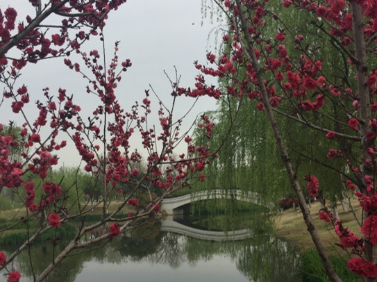 Cherry blossom in China