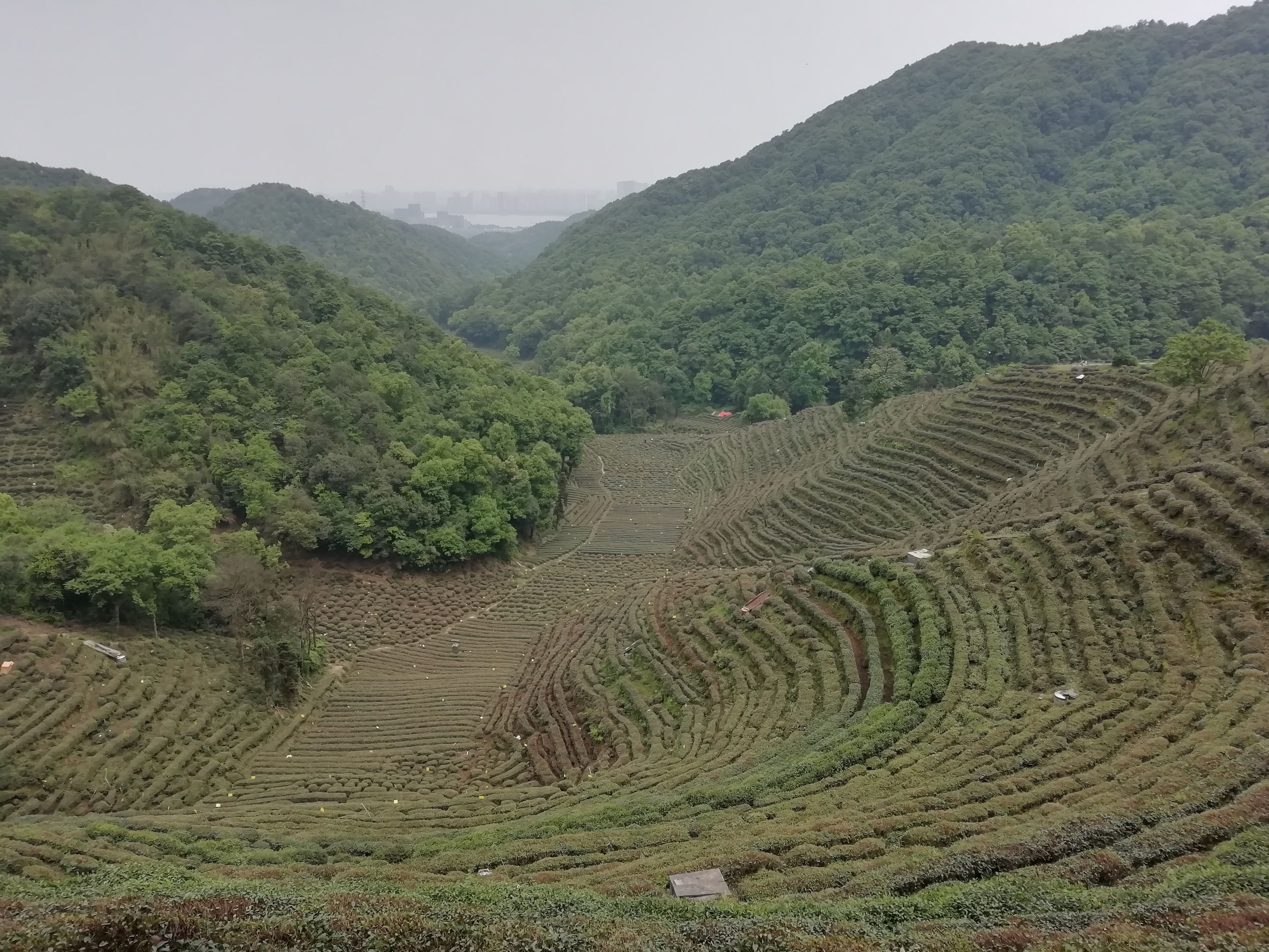 hangzhou tea fields